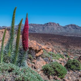Tajinaste Flower in Teide